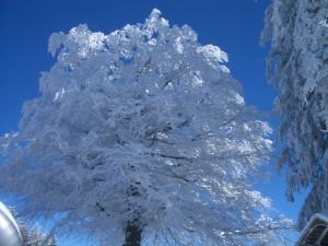 Pfänder Baum